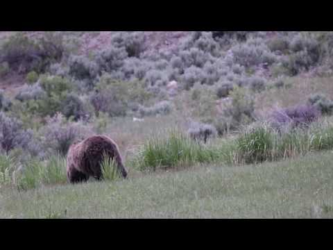 Grizzly and Cubs and Coyote at Yellowstone