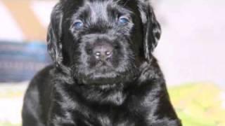 Labrador Retriever Welpen In Diemelsee