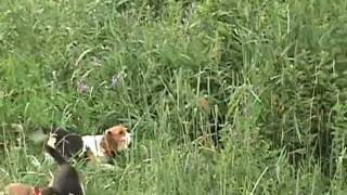 7 6 11  running rabbits with beagles in N C