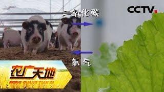 《农广天地》 20190520 一棚两用 猪菜共生| CCTV农业