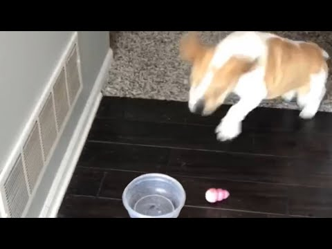 Overenthusiastic dog has no idea how to drink water