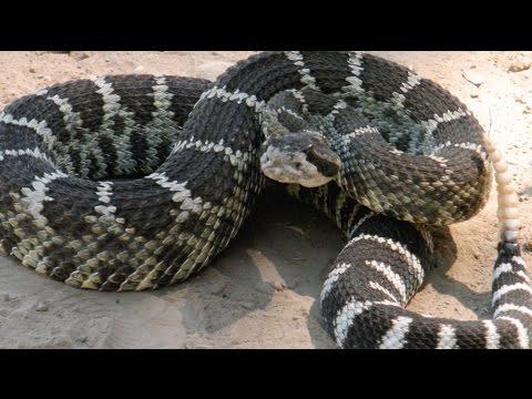 Giant Rattlesnake in Bidwell Park