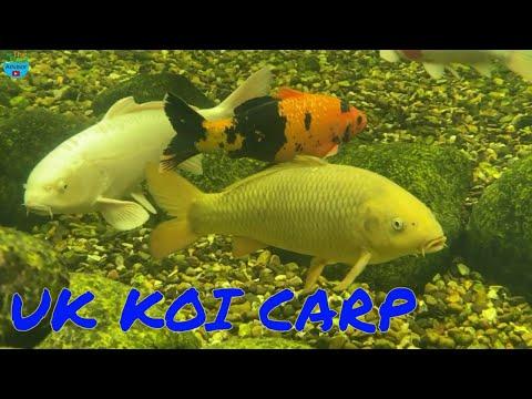 Koi Carp & Fish Pond Advisor   Aquascape Ponds UK