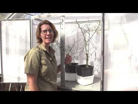 Mass-rearing of the biological control agents UU & UU2