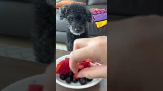 블루베리와 딸기 먹는 푸들