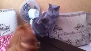 Жесть. Смотреть всем! Кошка убивает собаку.