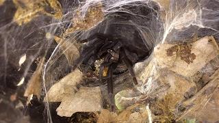 Tarantula Feeding Video #10 ~ Crunch Crunch Crunch !!!