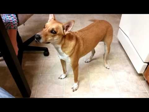 "Basenji Yodel - What Sound Does An ""African Barkless Dog"" Basenji Make?"