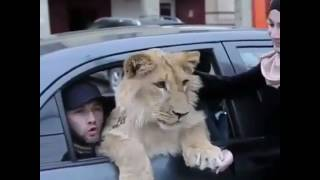 Это не тигр это кошка😂😂😂