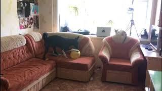 пес играет с шариком