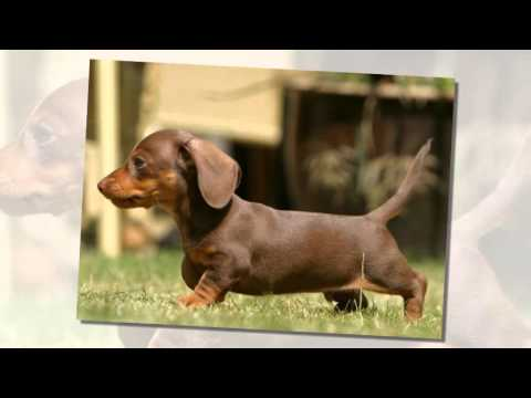 Top 10 Best Names For Dachshund