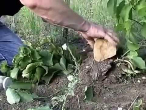 Growing Hazel Nut / Filbert Trees. Planting, Picking, Propagation, Layering, Ordering Seedlings