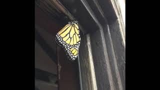 Monarch Butterfly off backdoor in Long Beach
