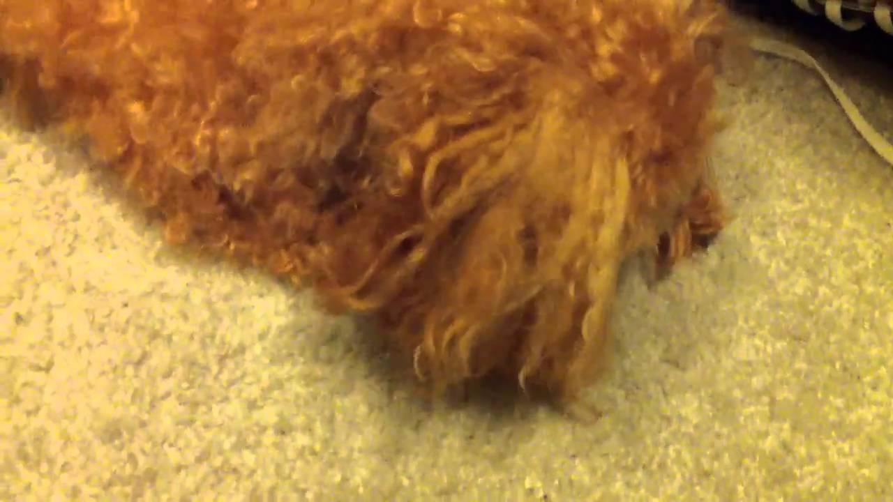 How To Get Dog To Stop Eating Carpet