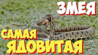САМЫЕ САМЫЕ ядовитые змеи мира | Какая самая ядовитая в мире змея?
