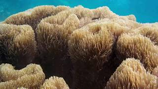 Sulawesi coral مرجان 珊瑚 मूंगा karang サンゴ 산호 ปะการัง