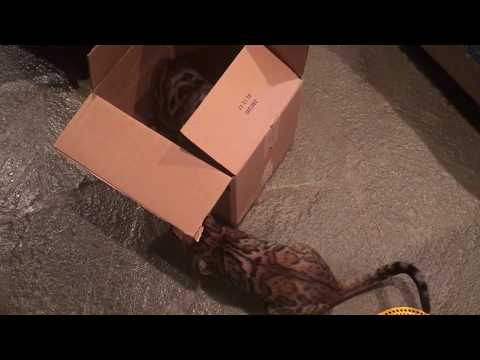 Bengal cats fighting over cardboard box