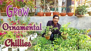KNOW MANY THINGS ABOUT ORNAMENTAL CHILLIES OR ORNAMENTAL PEPPERS.