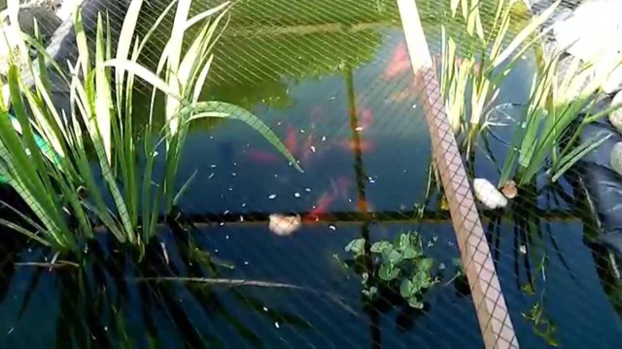 Meine teichfische im fr hsommer 2015 youtube for Was fressen teichfische