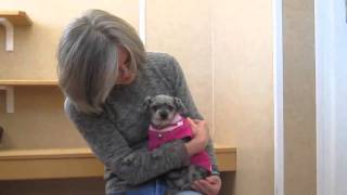 Ebby is a sweet little toy poodle who needs some medical attention ...