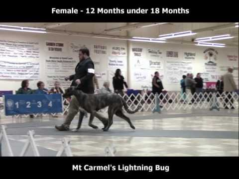 2-26-2017 South Arkansas Kennel Club - Irish Wolfhounds