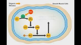Nitric Oxide Vasodilation animation video