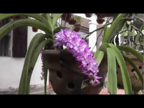 Phong lan vườn nhà nở 31-5-2012.mp4