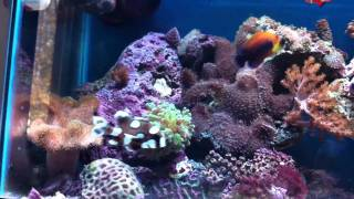 new 30 gal reef: potters angel and harlequin sweetlips
