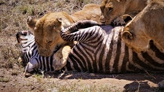 Serengeti: Pride of lions hunting and killing zebras (4 K/UHD)