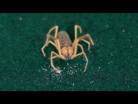 10 Cool Facts about Camel Spiders   Pet Tarantulas