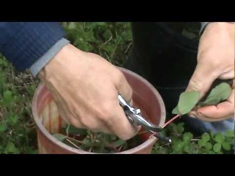 Размножение роз черенками, методы черенкования садовых роз