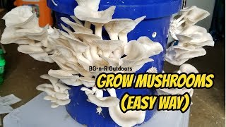 Grow Oyster Mushrooms the EASY way!!