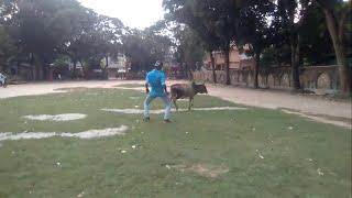 Bangla Funny Video ! বাংলা ফানি ভিডিও by shihab tamim nasim shokty shamim গরুর সাথে নাচ !