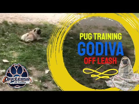 11 month Pug, Godiva| E-collar Training for Small Breeds | Off Leash K9