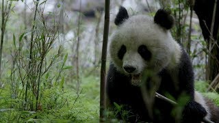 CGTN Nature: Qinling Mountains Series | Episode 4: Living with Bamboo