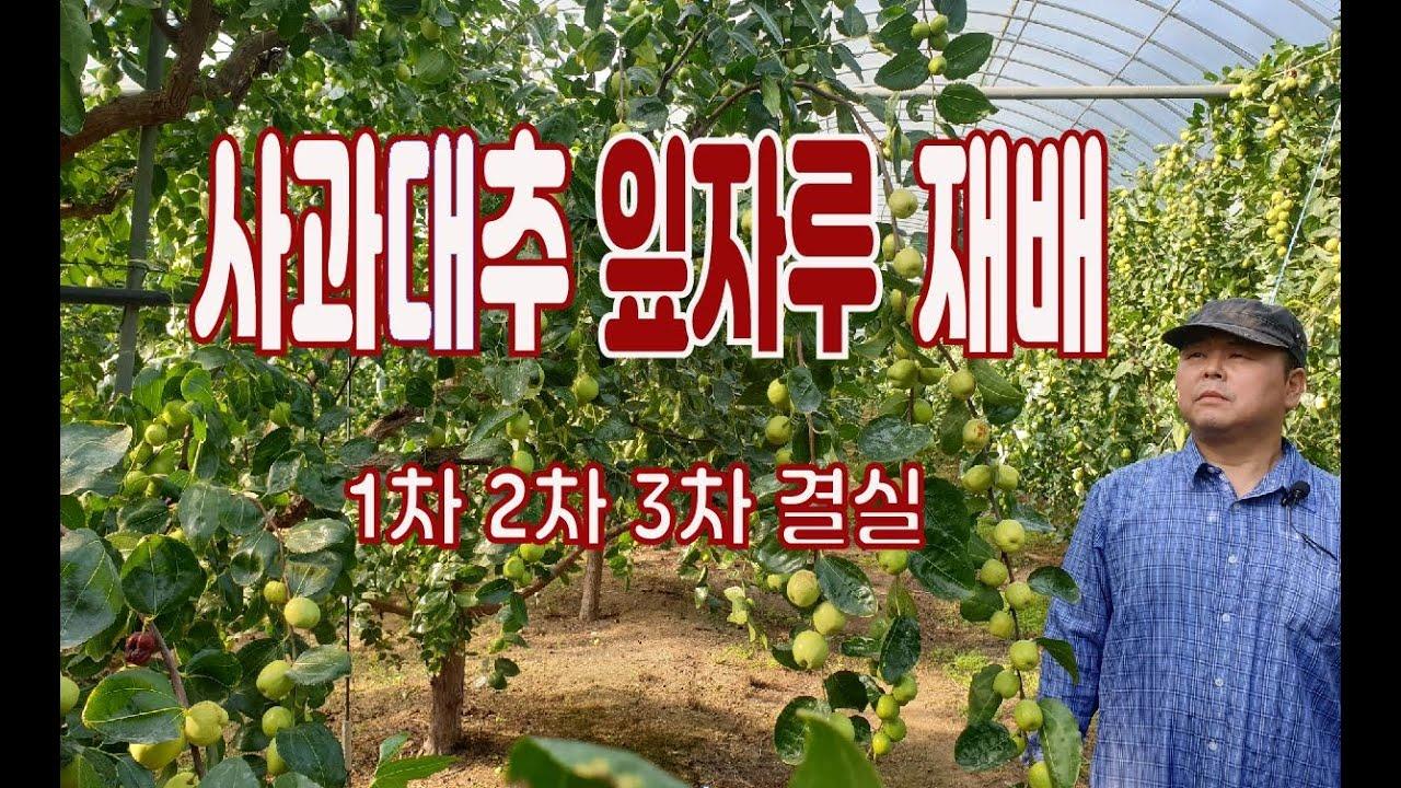식재12년차 사과대추 성목 - 잎자루 재배법