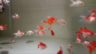 Риукин красно-белый
