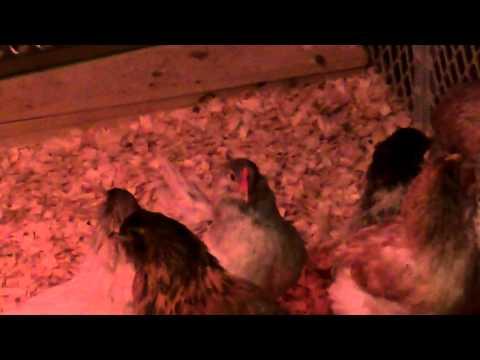 my-7-week-old-easteregger-roosters-crowing.