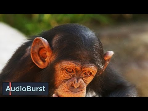 What It's Like To Chat With A Chimpanzee