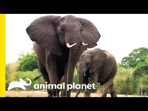 Imposing Elephants and Blood Sucking Vampire Bats