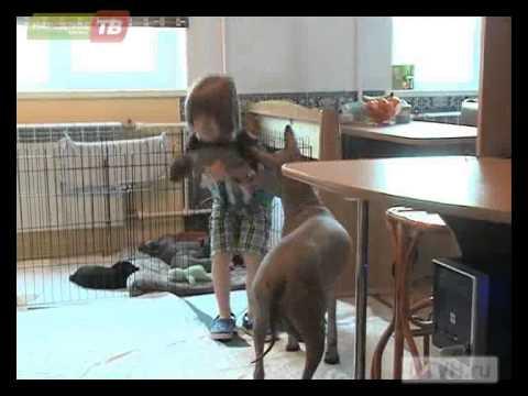 Ксолоитцкуинтли, ксоло, мексиканская голая собака