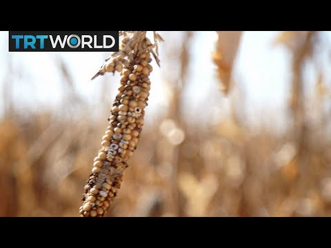 Money Talks: Maize harvest to boost South Africa's economy