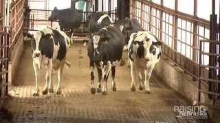 Do cows mind being milked?