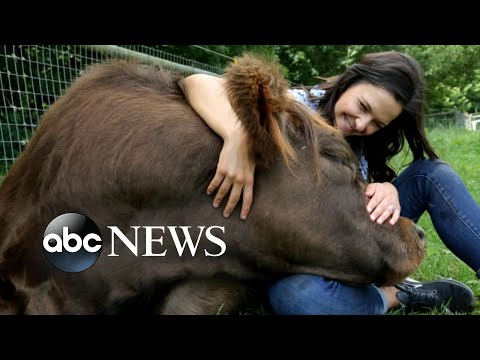 Cow cuddling and beyond: the growing use of emotional support animals | Nightline