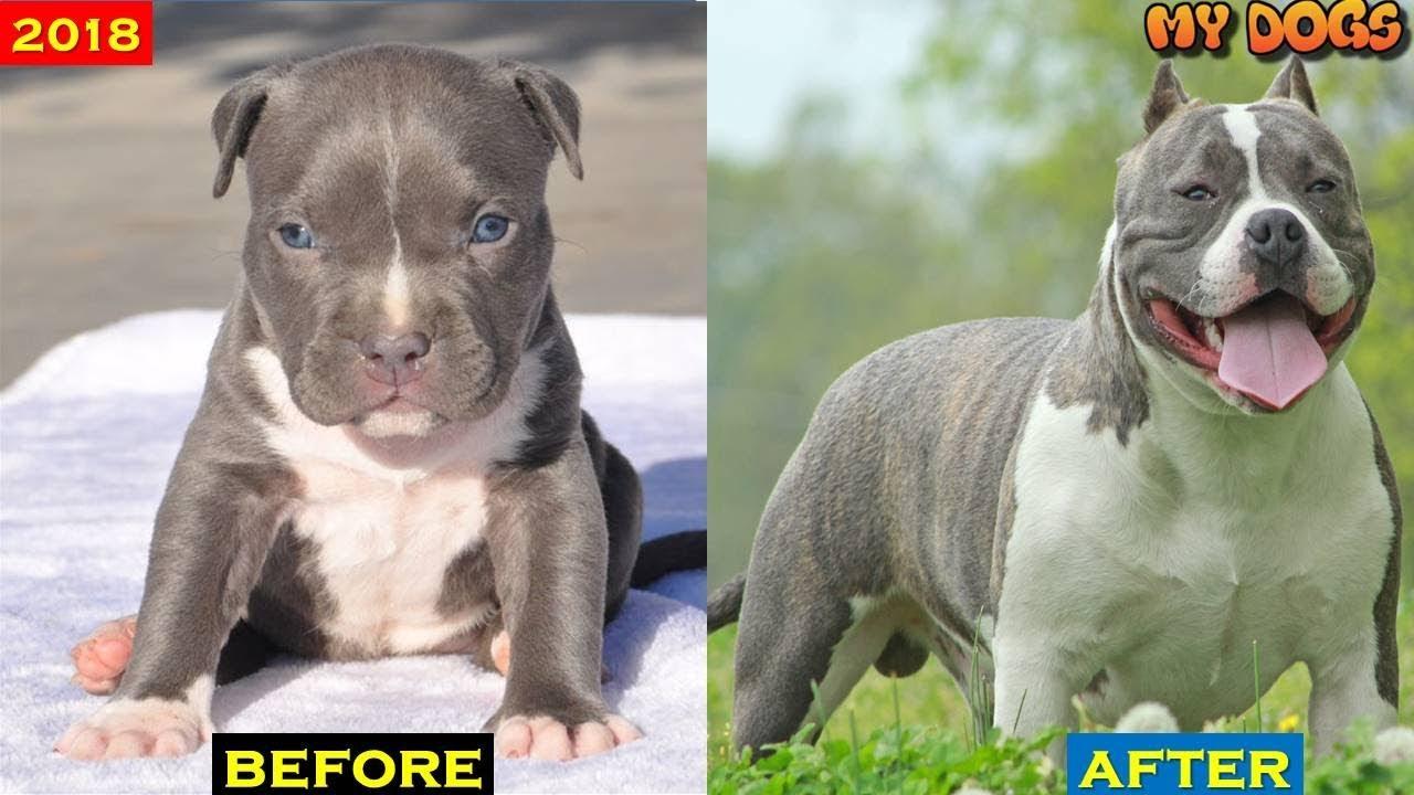 American Bully dog Transformations