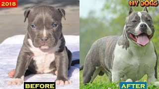 American Bully dog Transformations # 2018