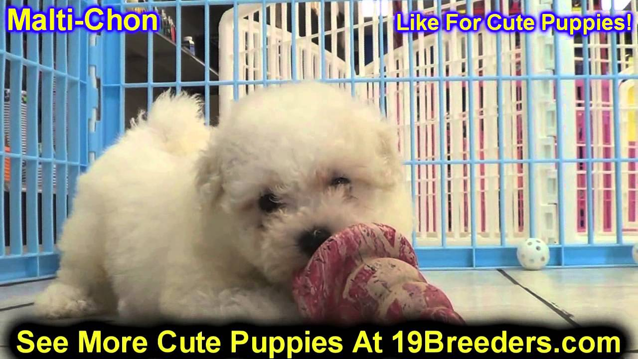 Maltichon Puppies For Sale In Butte Silver Bow Montana Mt