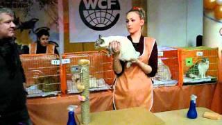 Первая выставка порода Меконгский бобтейл,  кошка.mp4