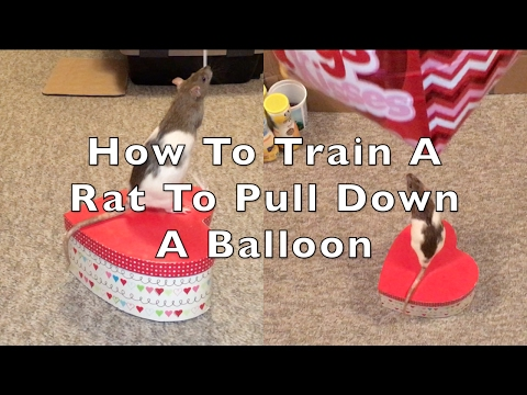 How To Train A Rat To Pull Down A Balloon