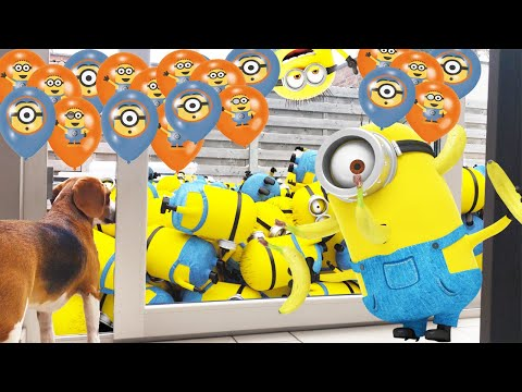 Beagles Vs 100 Minion Balloons , Funny Beagle Dogs Louie & Marie